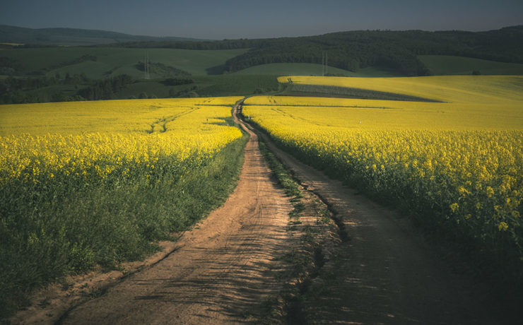 Rapeseed fields in the Moravia Region