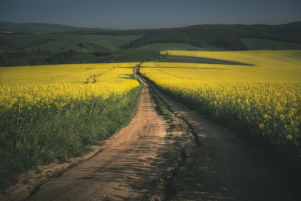 Rapeseed fields in the Moravia Region